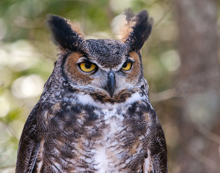 Great Horned Owl - (Captive)