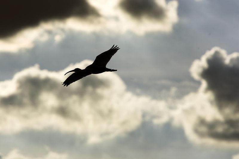 ibis-shadow.jpg