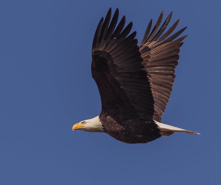 Flying Eagles