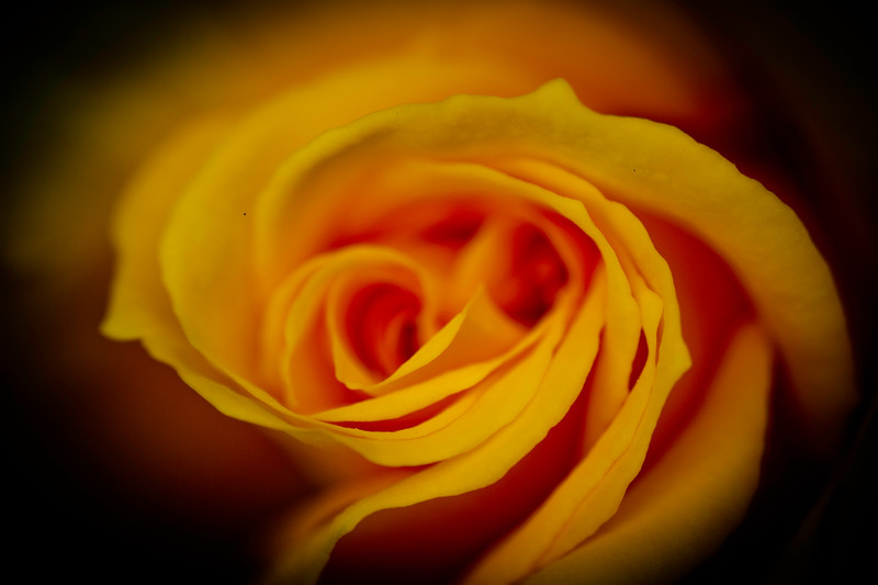 Yellow Rose 1.jpg