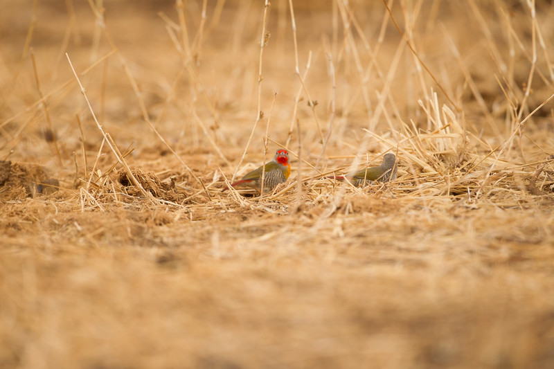 Red-billed Firefinch - Record - Tarangire National Park, Tanzania