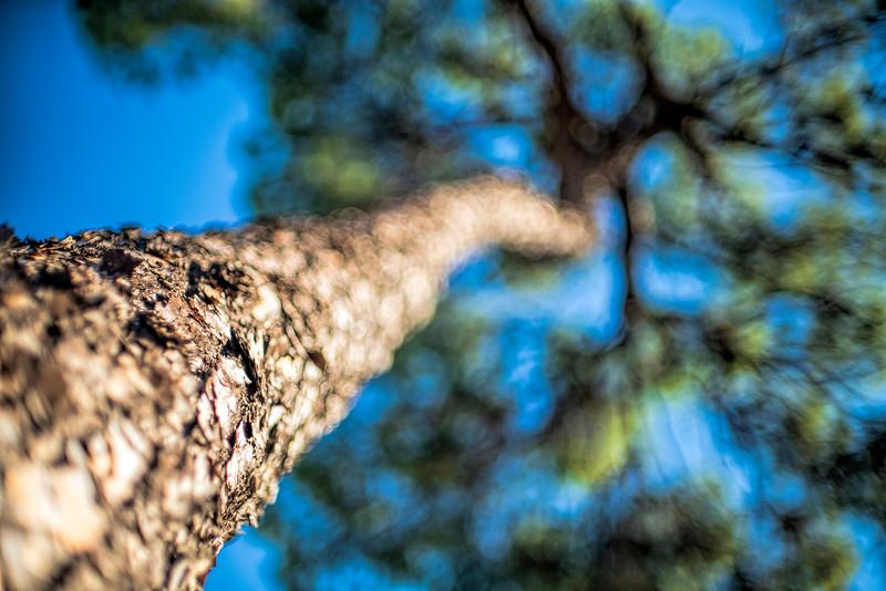 Pine trunk, Hinojos, Spain