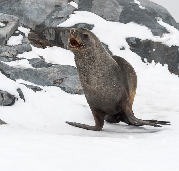 Seals_Fur_Hydrurga Rocks_Antarctica-4.jpg