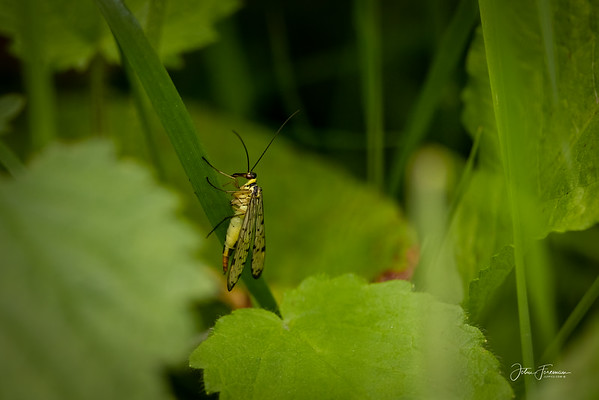 Scorpion Flies