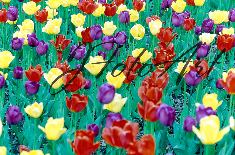tulips 2 403.jpg