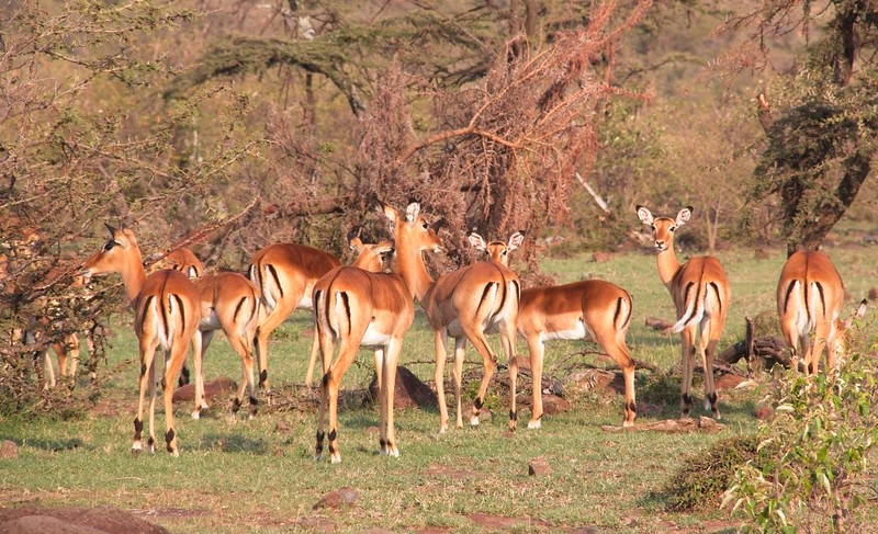 Harem of Impala, Naboisho Conservancy