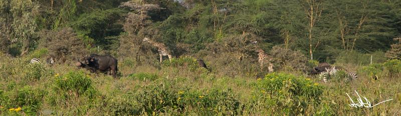 Giraffes-14.jpg