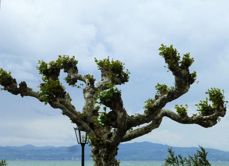 Day5-Montfort Castle tree.jpg