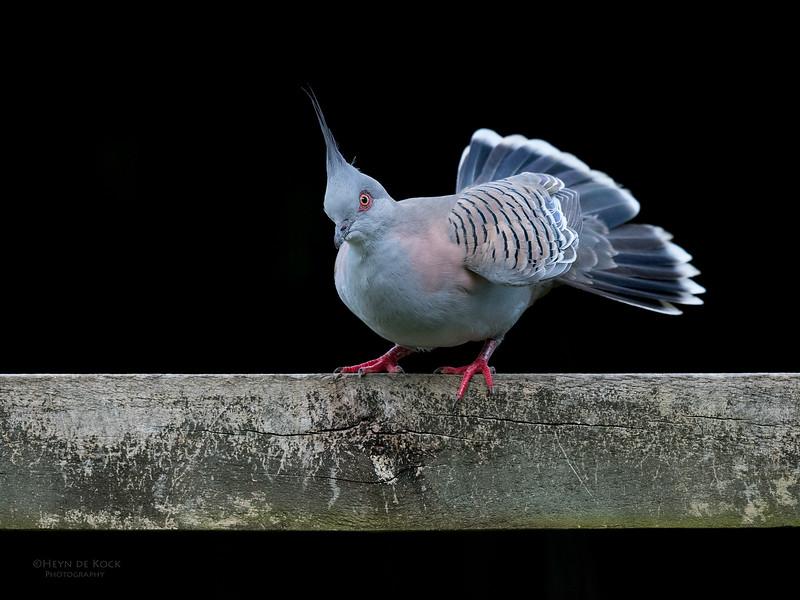 Crested Pigeon, Tallai, QLD, April 2017-2.jpg