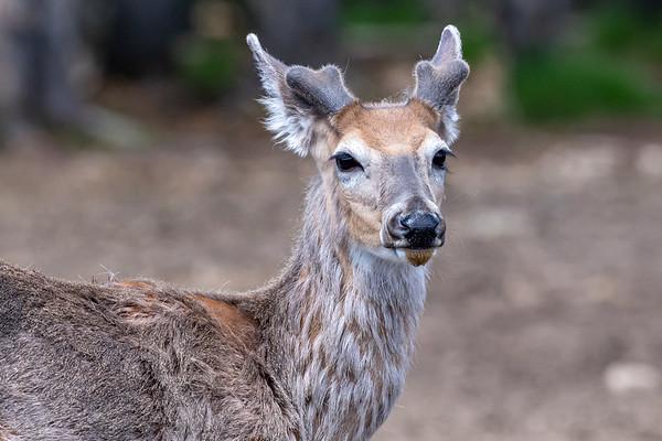 6-13-20 White-tailed Deer