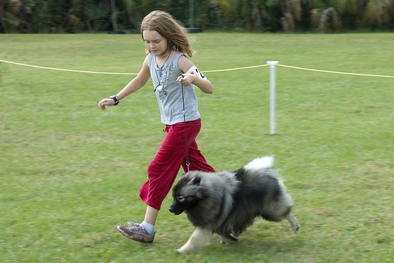 This young lady expertly showed her Keeshond in Junior Showmanship and also later in the Conformation competition.