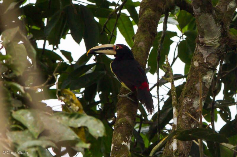 Pale-mandibled Aracari at Rio Silanche Reserve, Ecuador (03-04-2014) 027-78.jpg