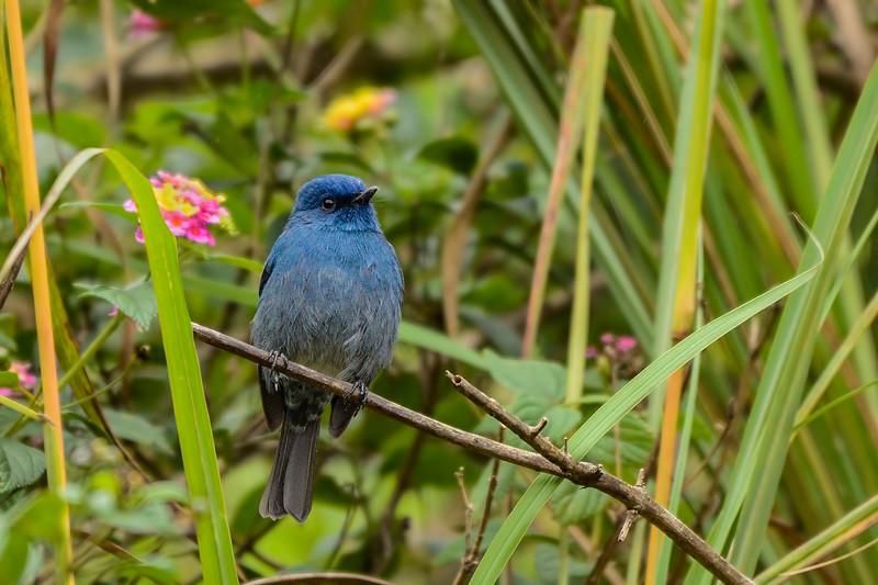 Nilgiri-Flycatcher.jpg