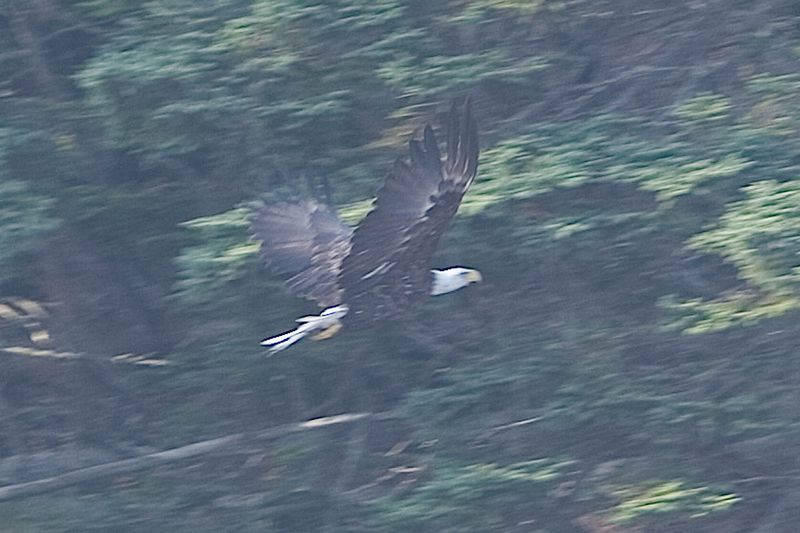 Quick shot of a Bald Eagle in Bar Harbor