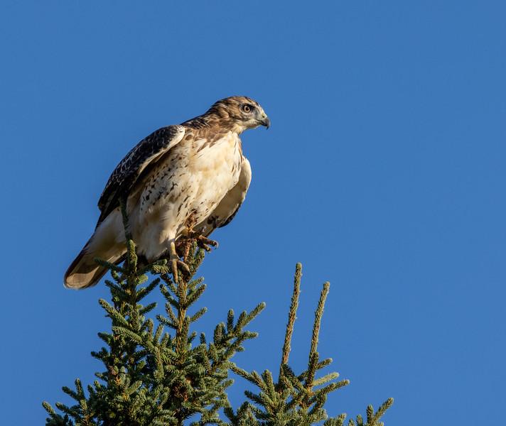 Red-tailed Hawk CR7 Sax-Zim Bog MN 0I7A0054-2.jpg