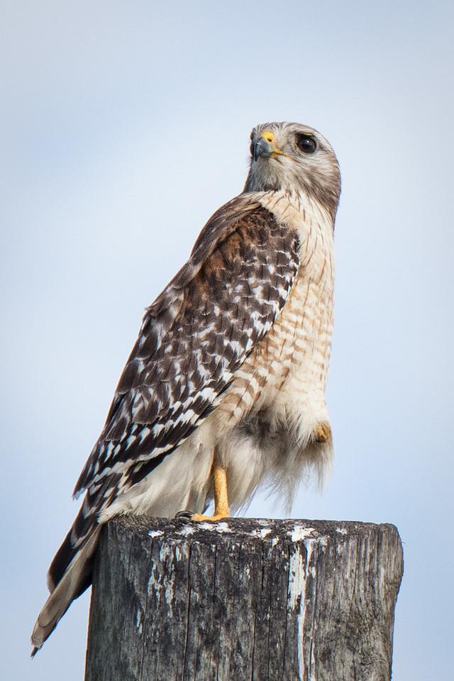 A Red-Shoulder Hawk taken by Moccasin Track.