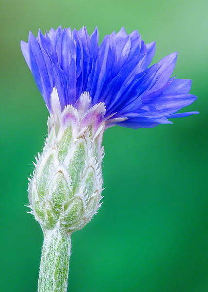 Digi S 5x7 Blue Cornflower  DSC00121.jpg