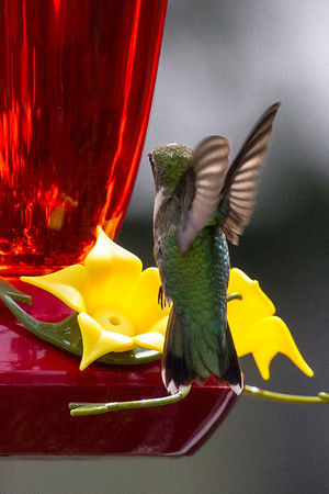 Ruby-throated Hummingbird, Sept/Oct 2012, Houston, TX