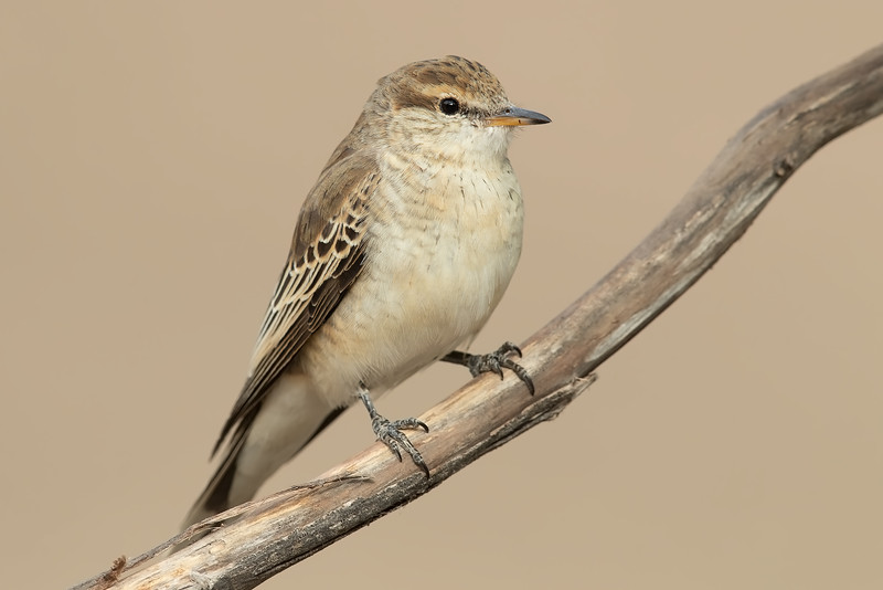 White-winged Triller female