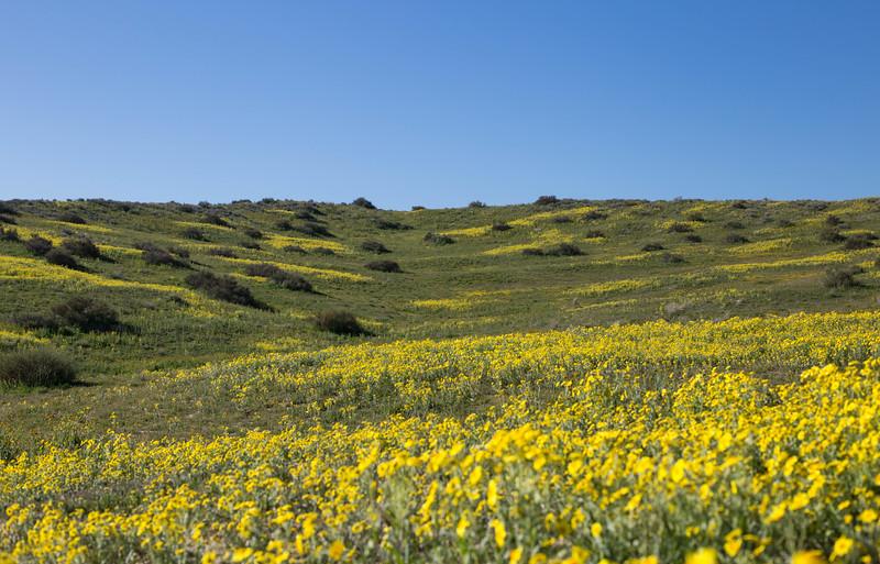Hill of yellow fleurs.jpg