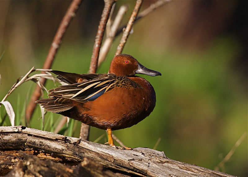 this gorgeous Cinnamon Teal drake was shot from a blind near Disautel Pass, WA
