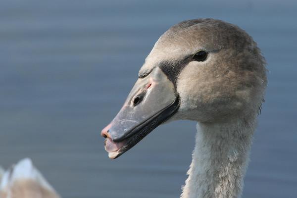 2007 - Swan Bog