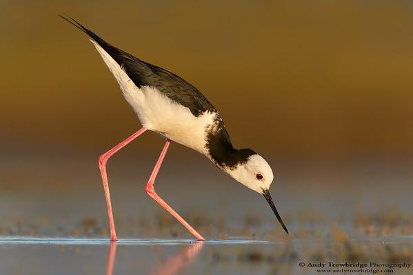 Pied Stilt / Black-winged Stilt