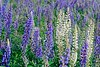 Lupine in morning light near Hermersburg, Germany. © 2005 Kenneth R. Sheide
