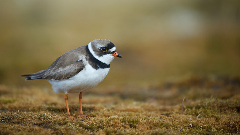 Semipalmated Plover in Barrow, Alaska