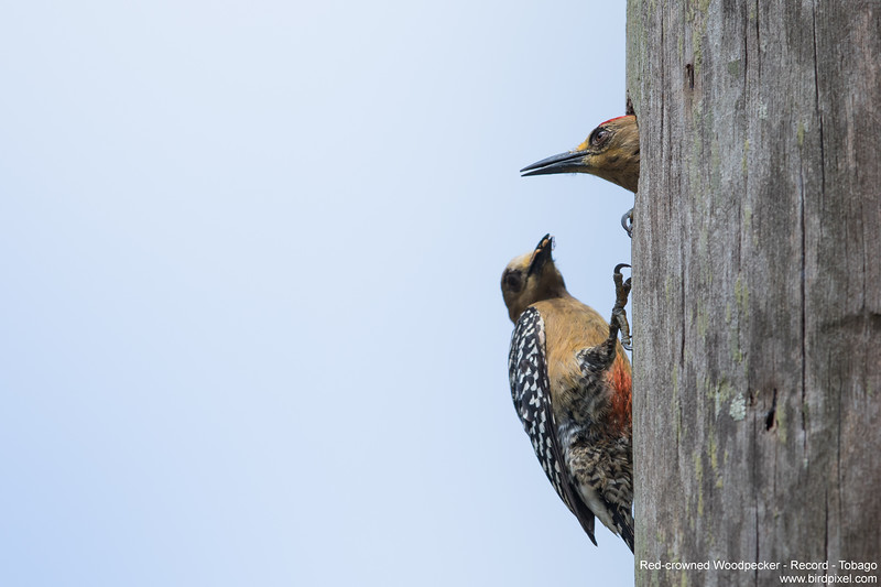 Red-crowned Woodpecker - Record - Tobago