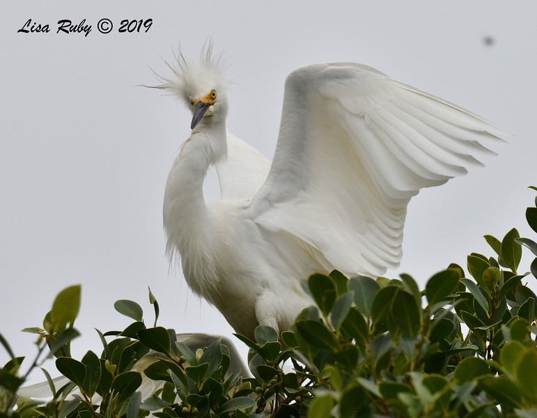 Snowy Egret in nest tree  - 6/24/2019 - Imperial Beach Sports Park