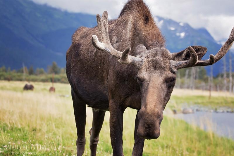 Moose5-6.jpg