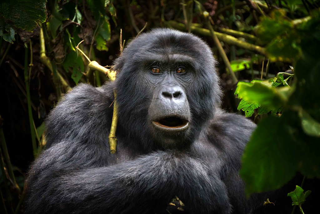 Seeing gorillas in the wild in Uganda