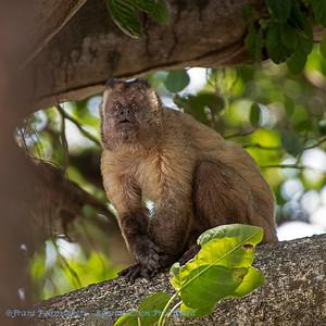 Cebus cay; Azaras's capuchin; Hooded capuchin; Sapajou du Paraguay; AzaraKapuzineraffe; Sapajus cay