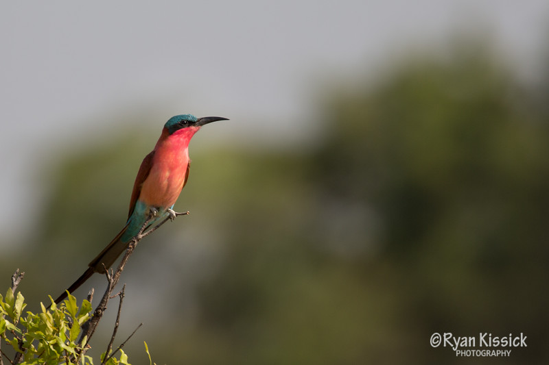 I think this is a Carmine Bee Eater. The birds of Botswana are incredible!