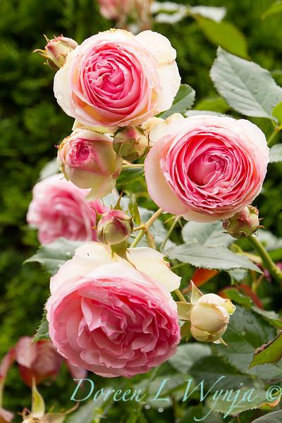 Rose_8365.jpg