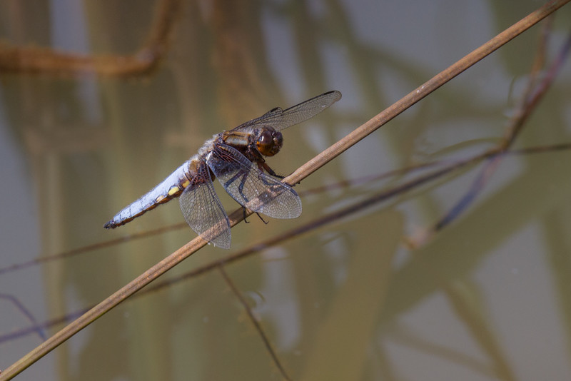 Broad-bodied Chaser M