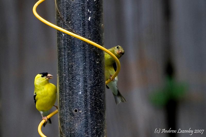 Goldfinch copy.jpg