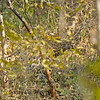 Camouflaged Leopard in the forests of Ranthambore national park