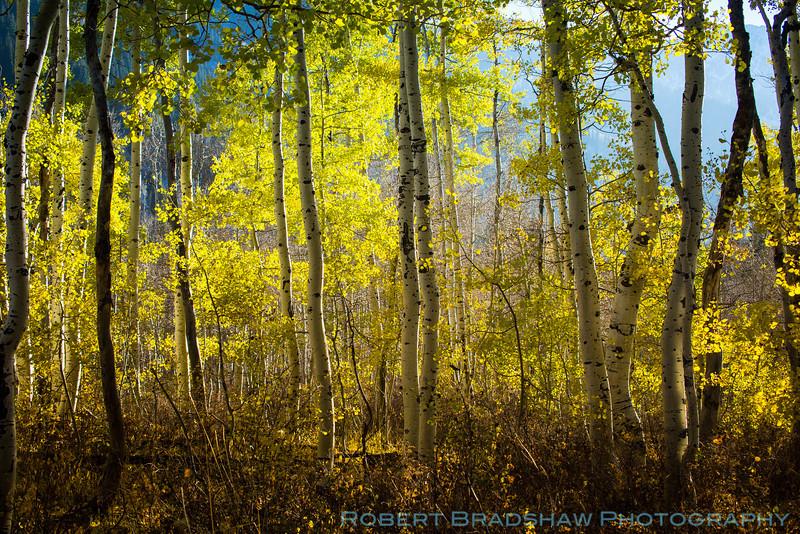Aspens of Little Cottonwood Canyon