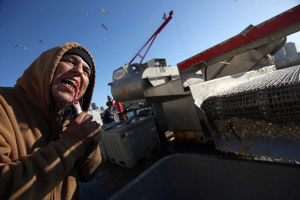 . In the spirit of Norwegian tradition for good luck fishing, dock worker Ray Rivera, of San Francisco, bites the head off of a herring at the San Francisco Community Fishing Association dock on Pier 45 in San Francisco, Calif., on Friday, Feb. 8, 2013.  (Jane Tyska/Staff)
