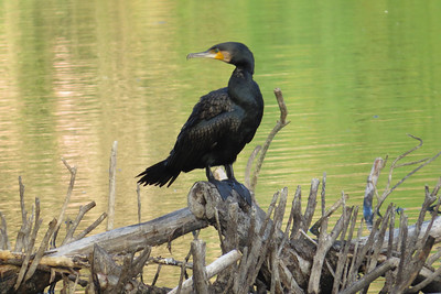 Cormorants & Darters