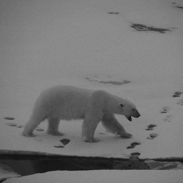 Ours blanc 7 Ursus maritimus-Svalbard_océan Arctique.JPG