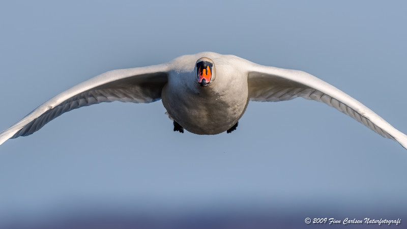 Knopsvane - Cygnus olor - Mute Swan