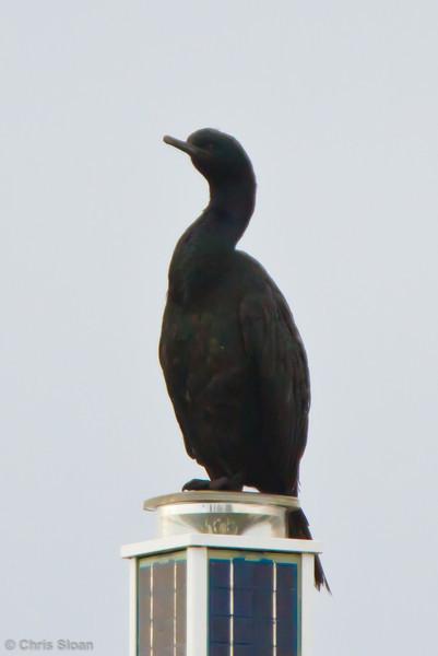Brandt's Cormorant at Bodega Bay, CA (10-15-2011) - 616.jpg
