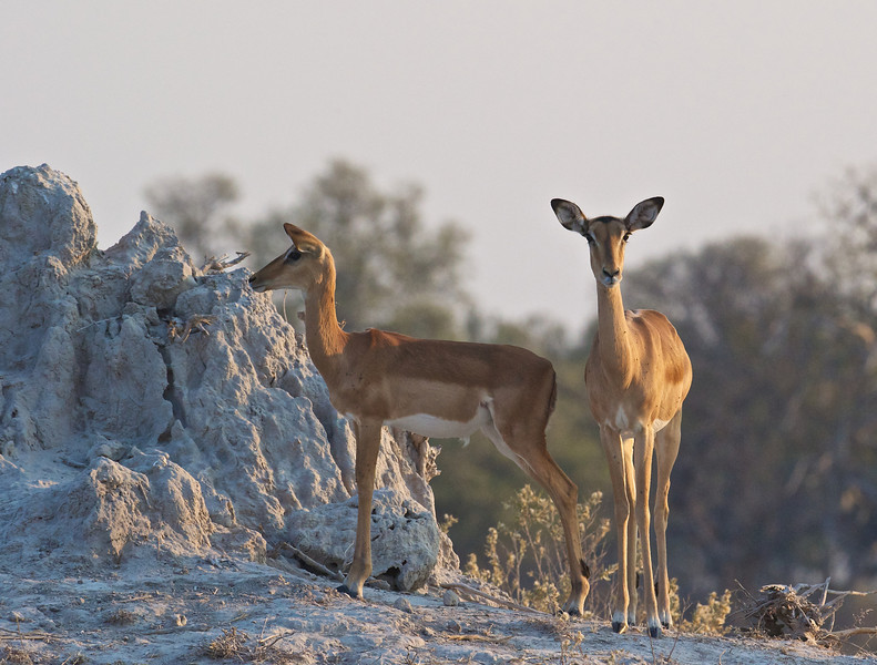 Impala does, Selinda Reserve, Botswana