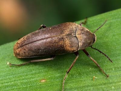 Rhipiphoridae - Wedge-shaped Beetles
