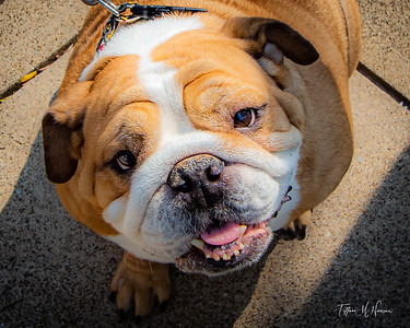 Paws on Main Bulldogs and Frenchies Sept 2021