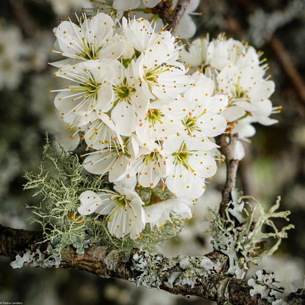 Blackthorn Blossom and Lichen