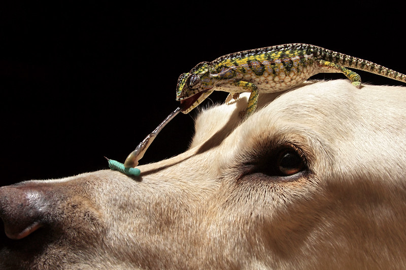 Chameleon On Dog.jpg